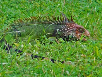 A large male green iguana with an orange head and a strong spiky crest grazes on green grass in Zancudo Beach, Costa Rica