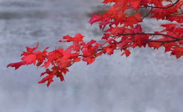 Red leaves over lake