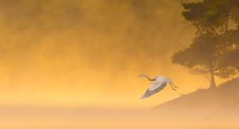 Heron flying in mist off lake