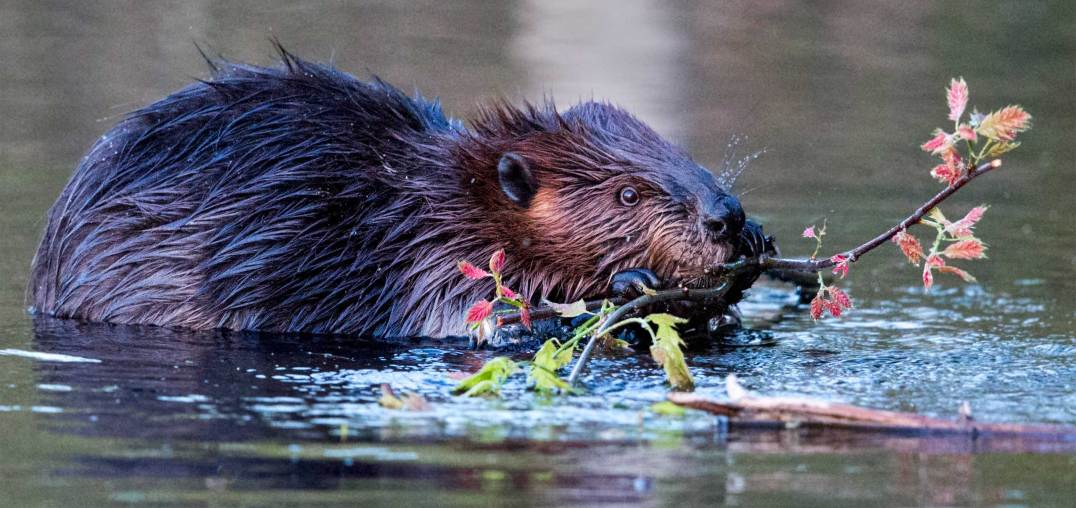 Busy beaver eating branch
