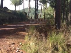 Shady lane and vicuñas