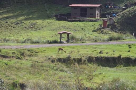 Lone vicuña