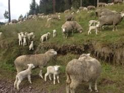Little lambs eat ivy...