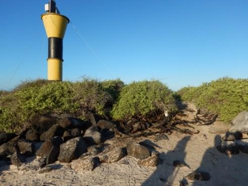 Iguana Roadblock