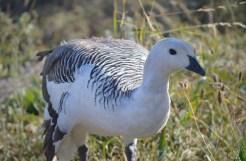 Upland or Magellan Goose