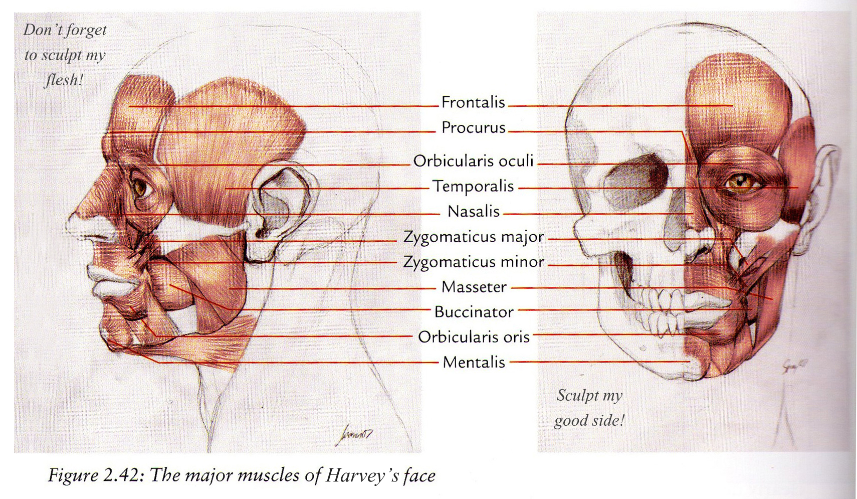 Facial Muscle Structure