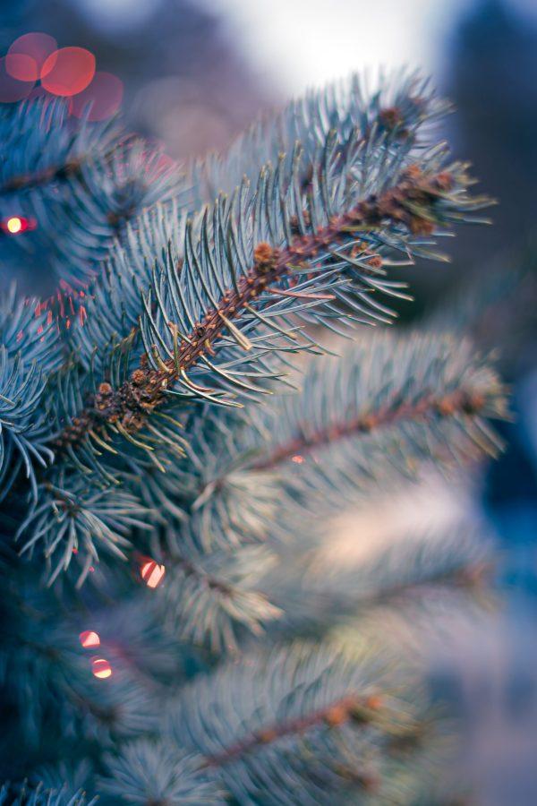Kerstboombezorging.nl - servische spar kerstboom bestellen