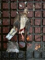 Very elegant dead pigeon