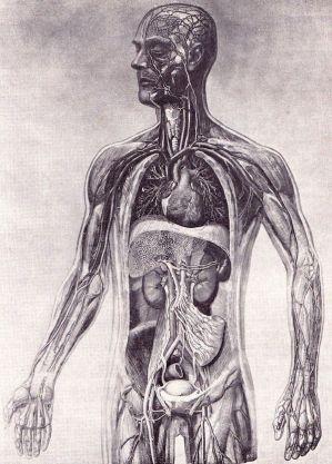 human-body-vintage-scientific-illustration-naturalist-drawing-0014