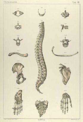 human-body-vintage-scientific-illustration-naturalist-drawing-0017