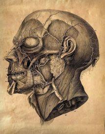human-body-vintage-scientific-illustration-naturalist-drawing-0037