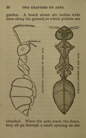 scientific-illustration-naturalist-drawing-0024