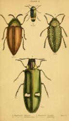 scientific-illustration-naturalist-drawing-0053