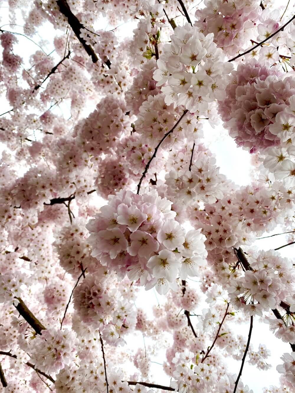 Flowers are a huge part of Pacific Northwest travel because something is always blooming year round.  Here flowing cherry blossoms burst onto the scene in Spring.