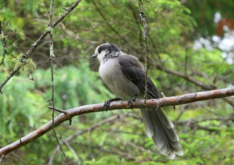 Adult Gray Jay