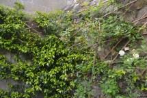 exposition plein sud: jasmin étoilé (trachelospermum), rosier Malvern Hills