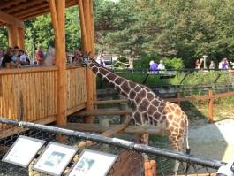 Giraffe_como_zoo_MN_ketan_deshpande