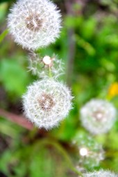 Dandelion © KETMALA'S KITCHEN 2012-13