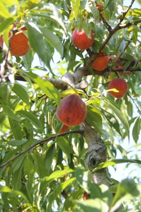Peach tree © KETMALA'S KITCHEN 2012-13