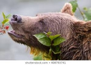 Bear eating fruit on keto