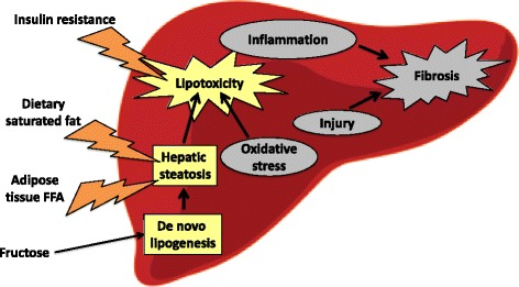 Fructose induced lipogenesis
