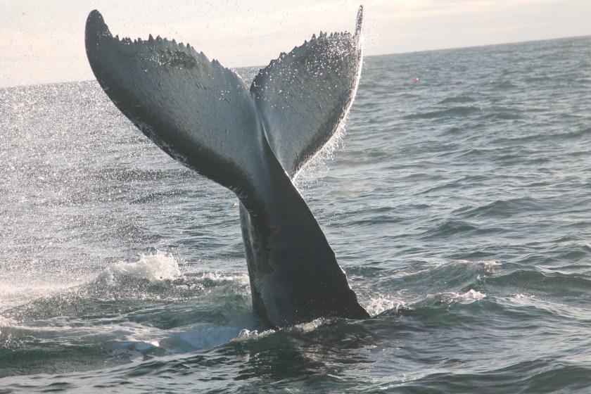 fluke-humpback-2017