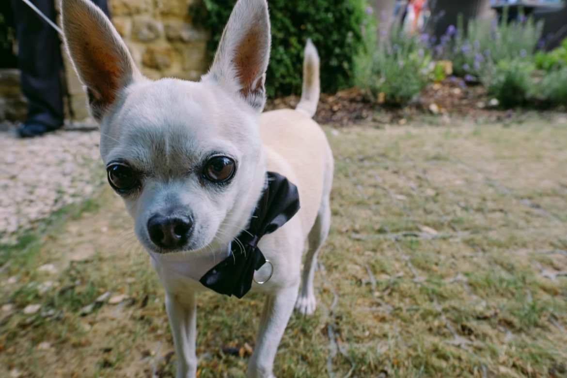 Chico the chihuahua ring bearer