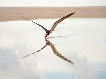 "X-Wing: skimming across the water, the reflection of a black skimmer creates a visual ""X""."