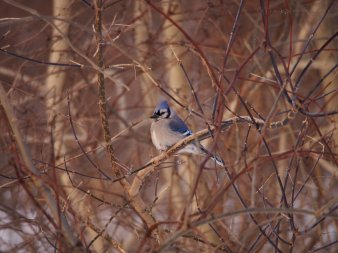 Blue Jay on a Branch: surrounded by bare branches in winter, a blue jay shows off its colour.