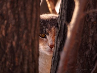 Cautious Feral Cat: a wild cat keeps an eye from the safety of two trees.