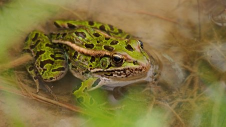 Northern Leopard Frog: a frog waits patiently for an insect to fly by.