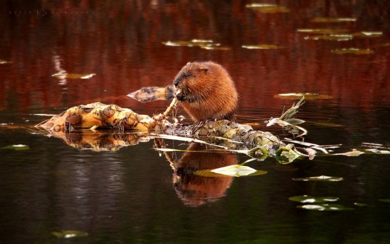 Resting on Root: a hungry muskrat munches on a lily pad root while floating on a bullhead water lily rhizome root.