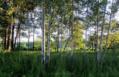 Sunrise on Birches: a cluster of birch trees are accentuated in the early morning sun.