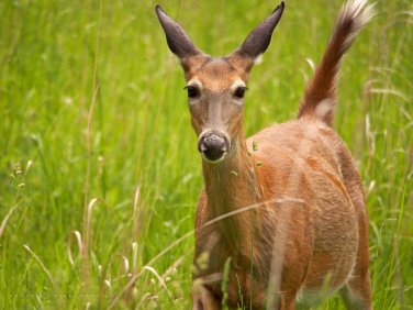 Attentive Doe: a white-tailed deer doe cautiously approaches the camera.