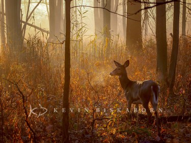 Dawn, Depth and Doe: a white-tailed deer doe stands amid the yellow and red glows of the morning sun.