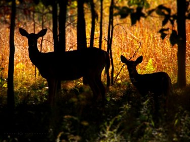 Doe and Fawn: a mother white-tailed deer stands silhouetted with her fawn.