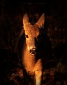 Into the Light: a white-tailed deer doe steps out of the shadows and into a patch of early morning sunlight.
