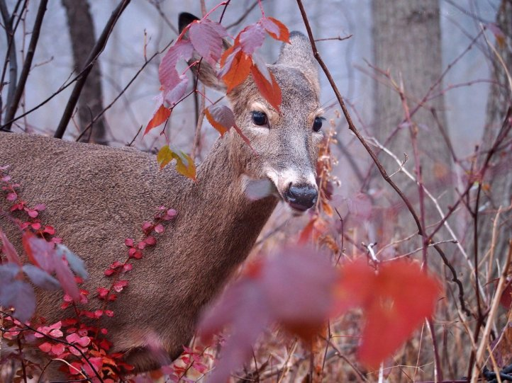 Lady in Red: a white-tailed deer doe walks amid red leaves.