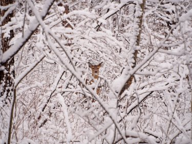Snowed In: a white-tailed deer doe is surrounded by freshly fallen snow.