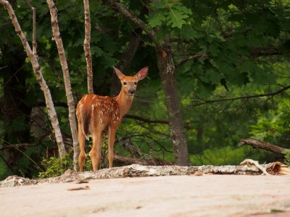 Killbear Park Fawn: a white-tailed deer fawn pauses on the rocks in Killbear Provincial Park.