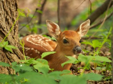 Waiting for Mom: a white-tailed deer fawn lies low while waiting for his mother to return.