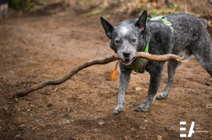 Cattle dog and his stick.... Allout 2017 trail day.
