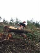 JC cutting a maple.