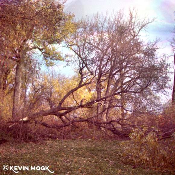 Fallen tree in Kildonan Park Winnipeg Manitoba