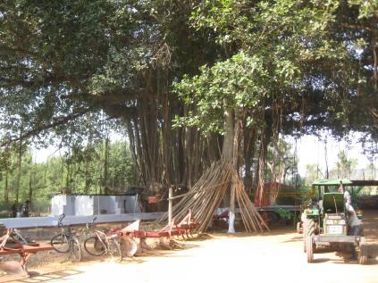 The banyan tree.