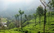 A tea plantation.