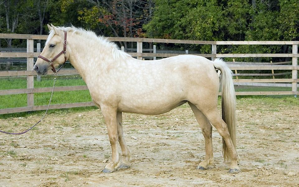 Eesti hobune – Telma