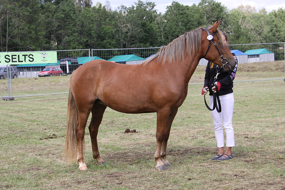 Eesti hobune – Tiivi 4300E