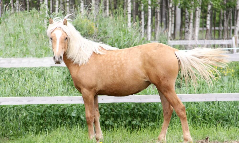 Eesti hobune – Tessera – müüdud