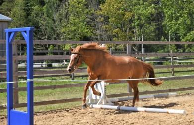 Eesti hobune Voore Lolai 3 aastane (2018)